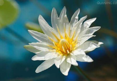 古莲子沉睡六百年后开花